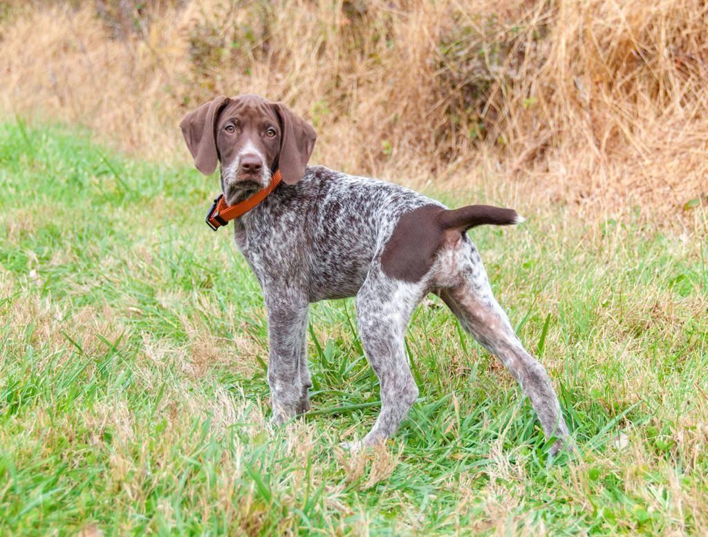 Курцхаар собака. описание, особенности, уход и цена курцхаара