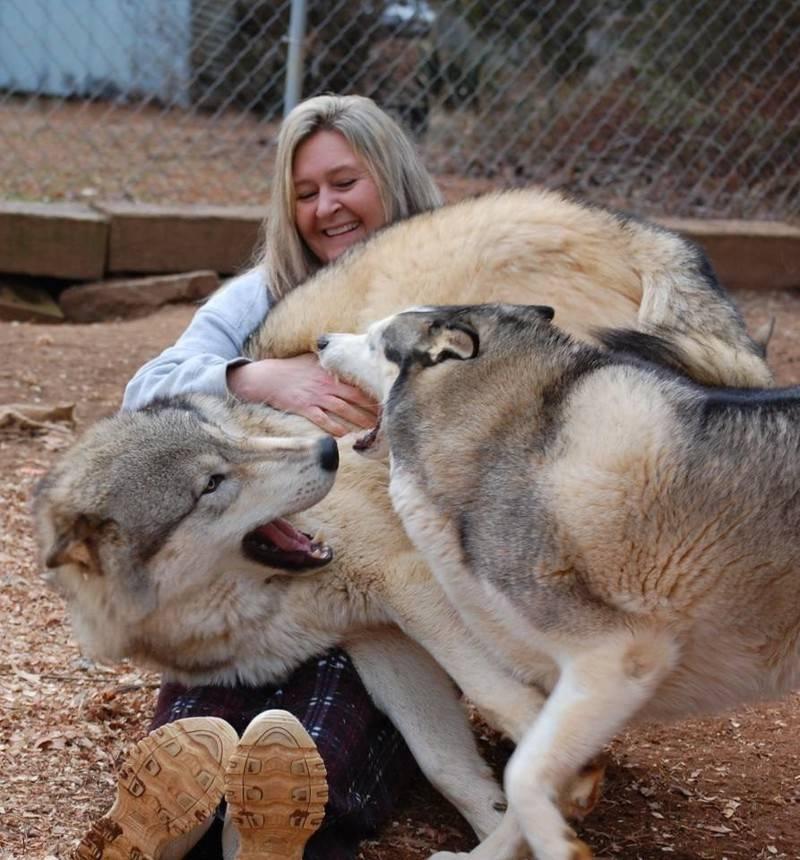 Гибрид собаки и волка: история, характеристика, содержание