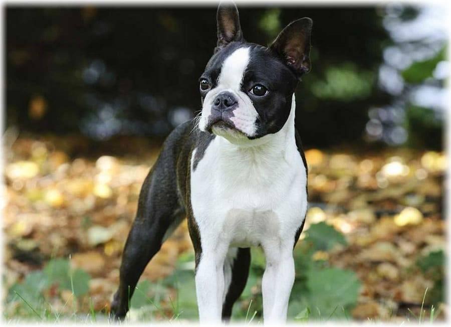 Бостон-терьер – фото, описание породы, цена щенков