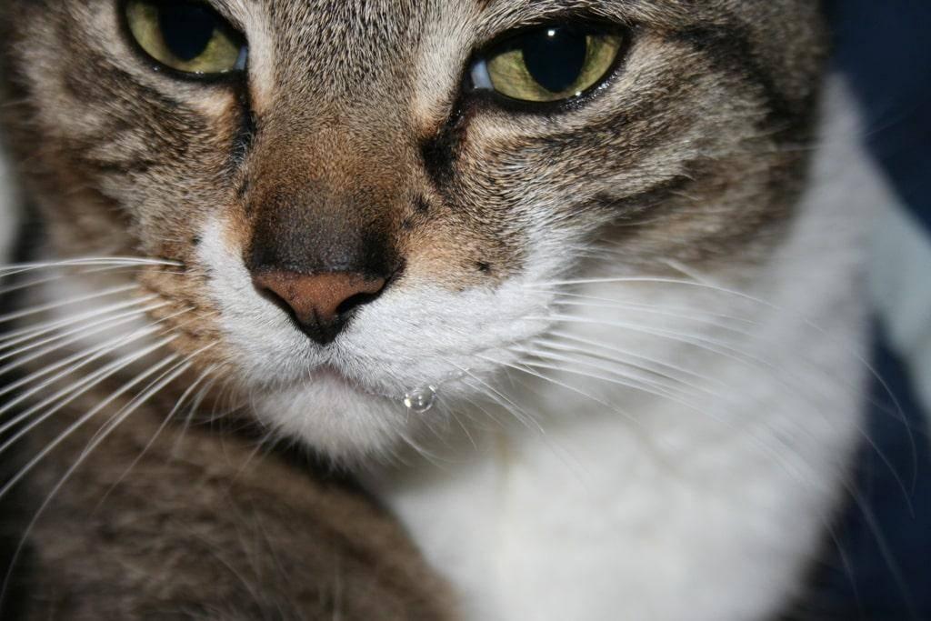 Слюнотечение у кошек, причины и лечение: почему у кота текут слюни изо рта, как прозрачная вода?