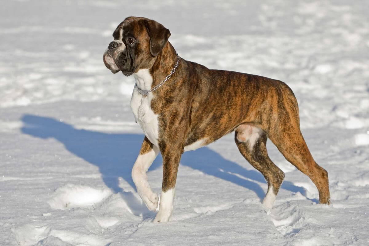 Немецкий боксер - все о породе, фото, описание, характер собаки и отзывы