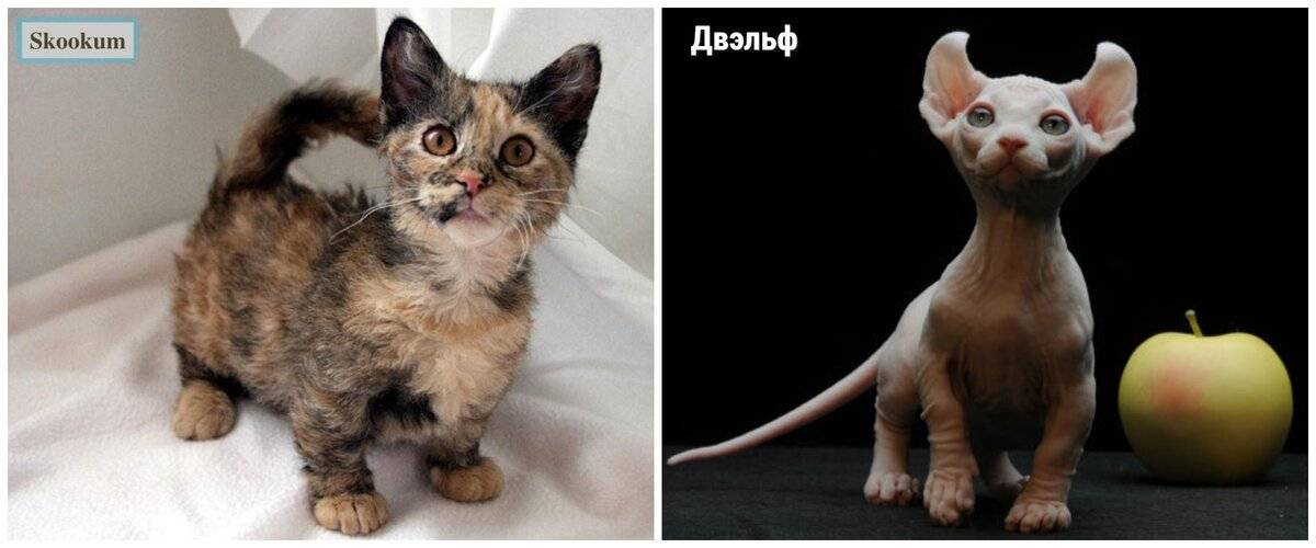 Рейтинг карликовых пород кошек