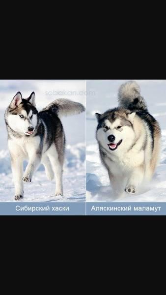 10 отличий между маламутом и хаски (фото): сравнение и описание пород