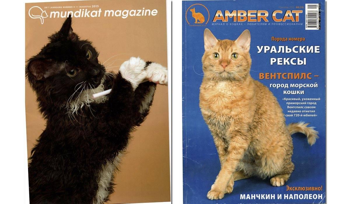 Селкирк рекс: подробное описание породы и характеристика кошек (95 фото)