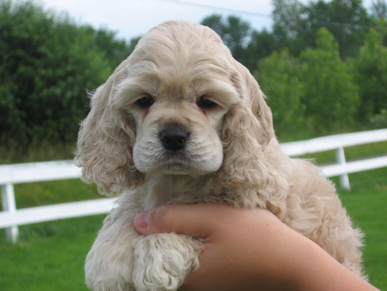 Американский кокер спаниель: описание породы и характер собаки