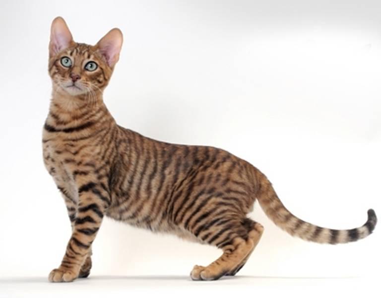 Сингапурская кошка: описание внешности и характера, уход за питомцем и его содержание, выбор котёнка, отзывы владельцев, фото кота сингапура