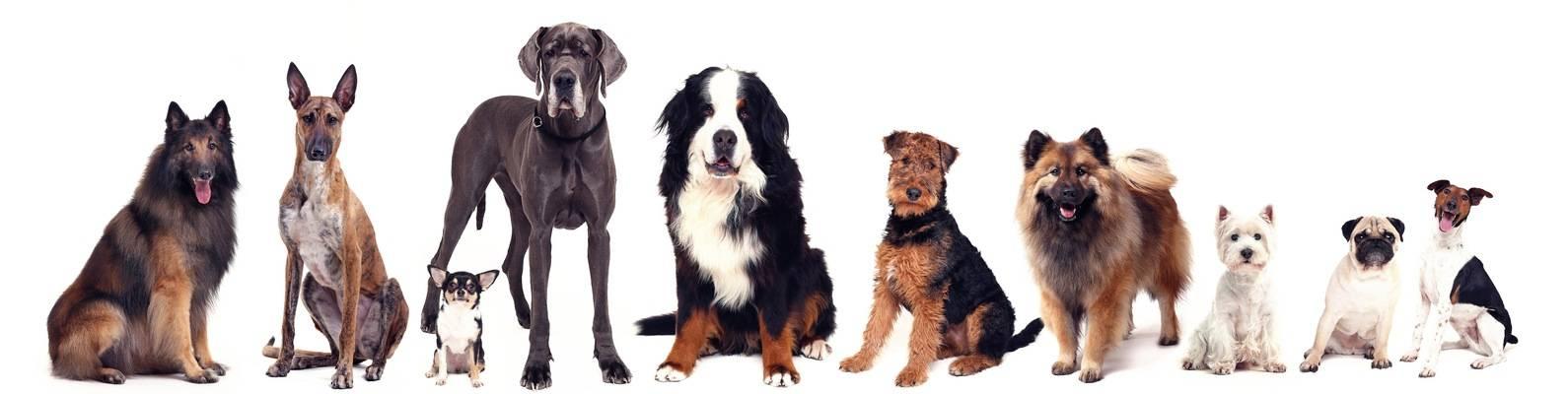 Топ 7 лучших пород собак для начинающих собаководов
