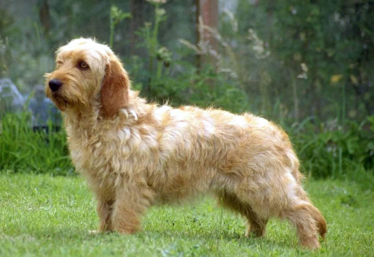 Собака бассет хаунд: описание породы, фото и характер