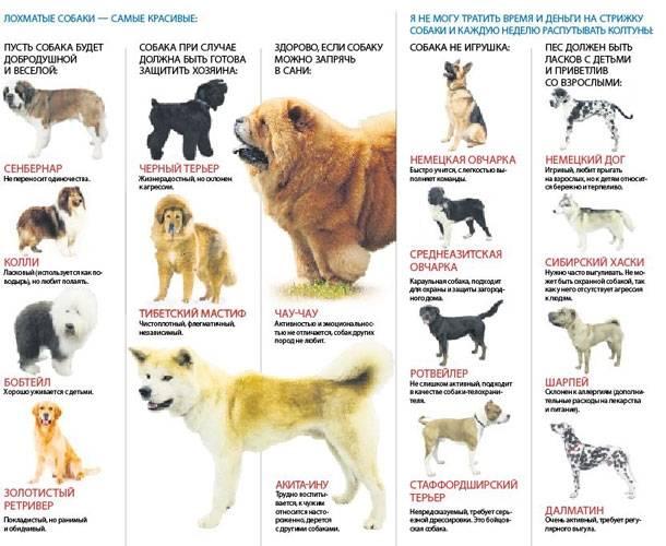 Самая маленькая собака в мире | порода, фото