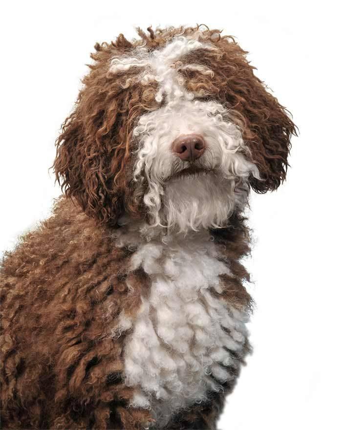 Португальская водяная собака: стандарт породы, особенности ухода и содержания (+ фото)