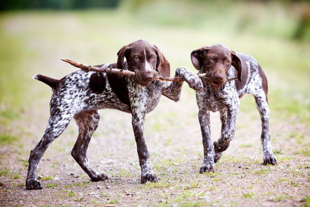 Охотничьи собаки: как выбрать универсальную породу?