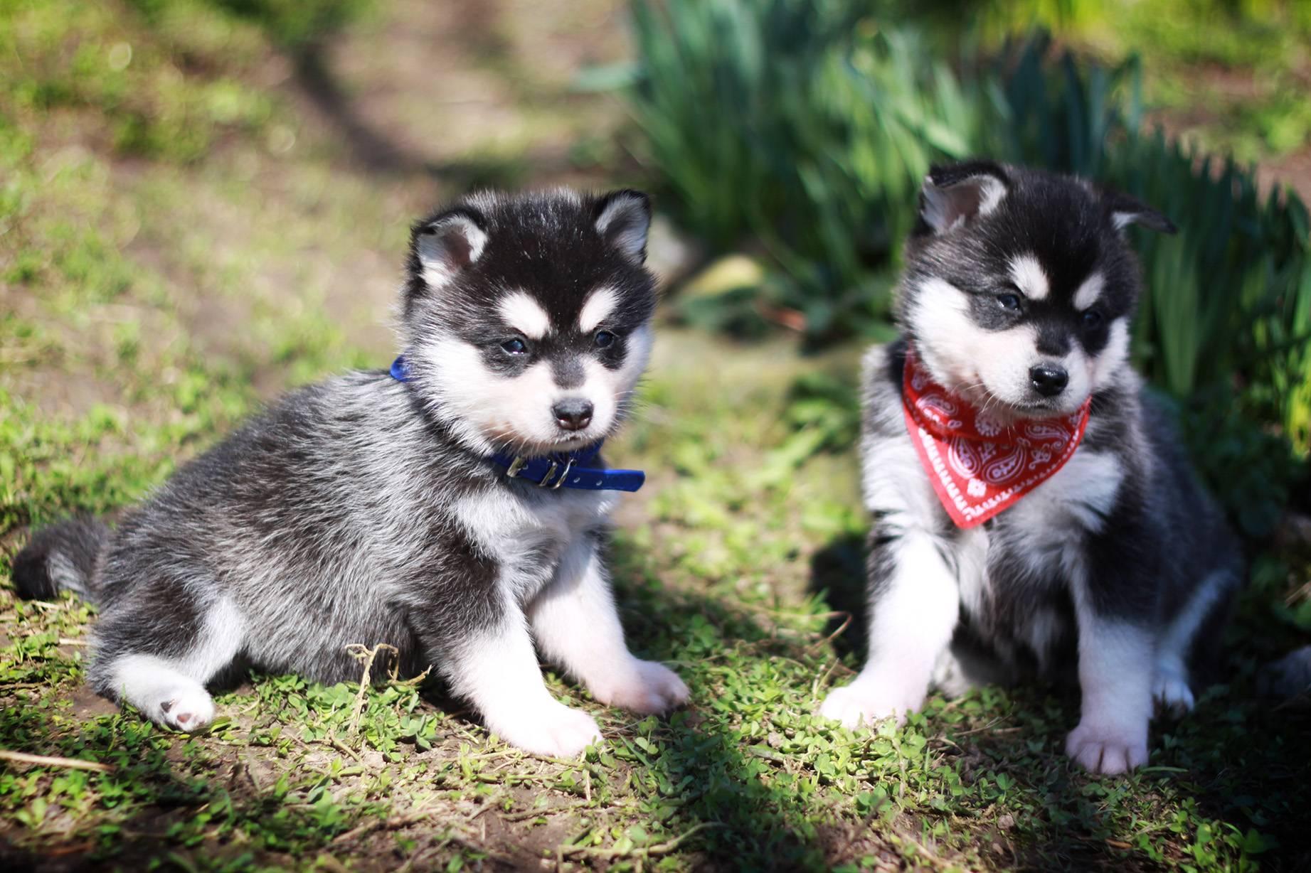 Особенности мини хаски (аляскинского кли-кая): фото собак, описание породы, правила ухода и отзывы владельцев