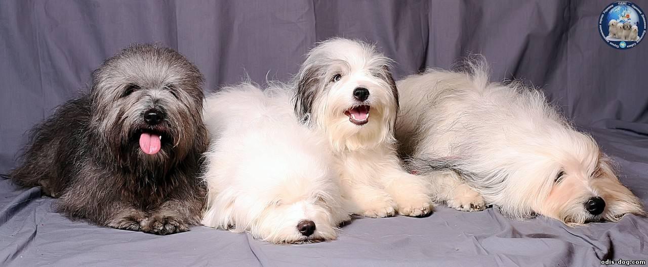 Одесская идеальная порода собак. »  породы собак