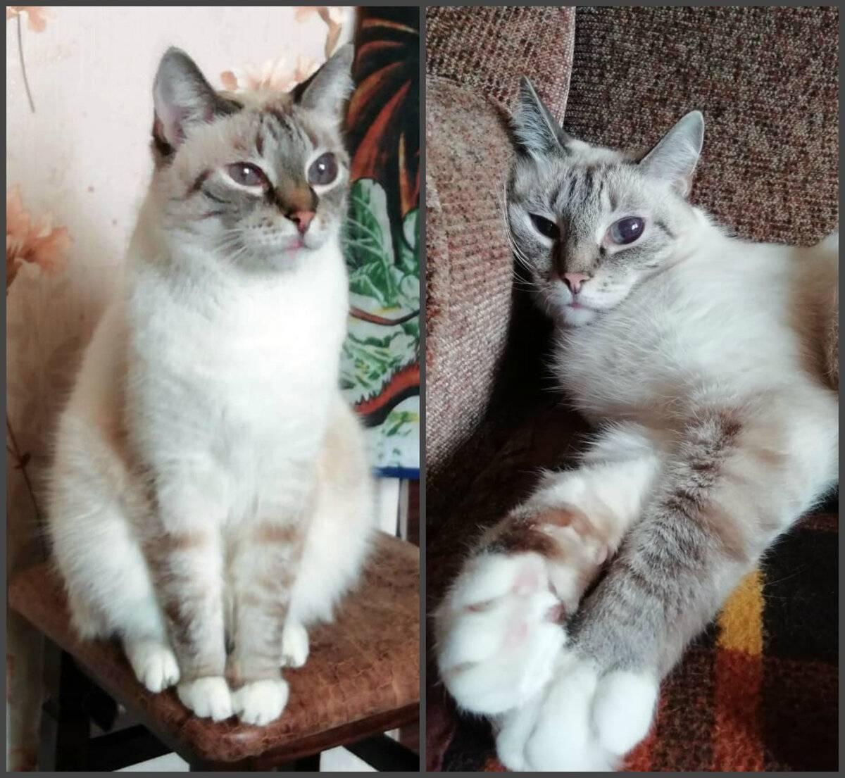 Самые неприхотливые в уходе кошки - муркин дом