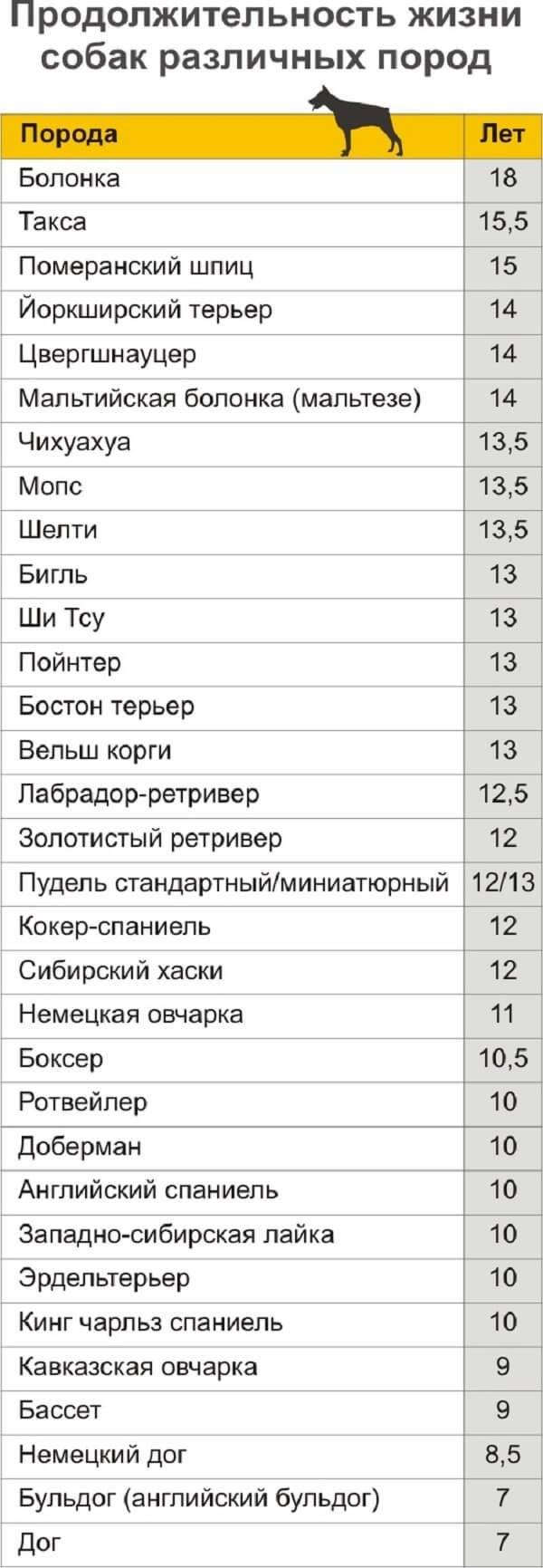 Продолжительность жизни лабрадоров в домашних условиях