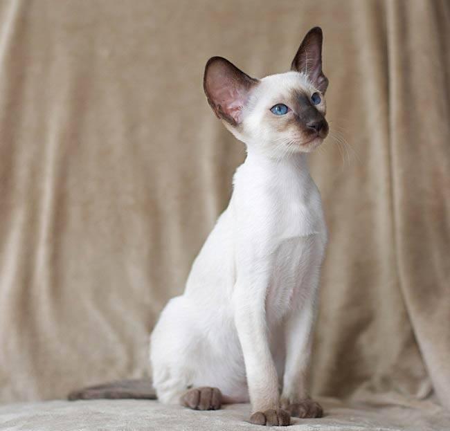 Форин вайт – описание породы и характер кошки