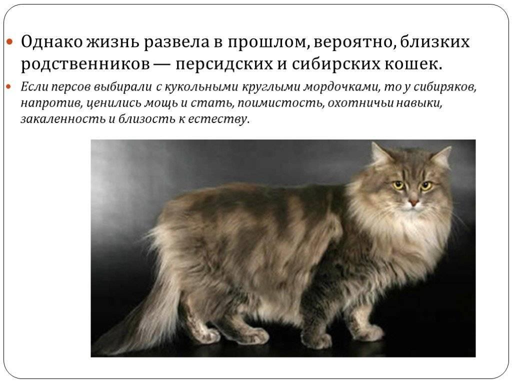 Сибирская кошка: описание породы, фото окрасов и питомники