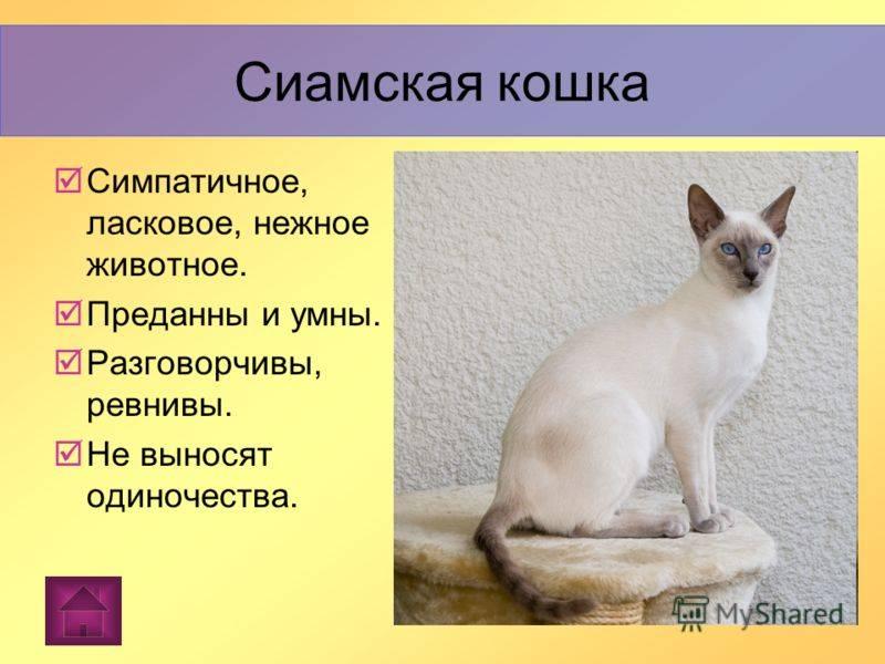 Као мани: описание породы кошек (с фото и видео)