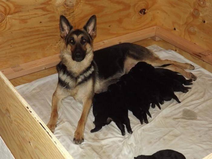 Особенности кормления щенка немецкой овчарки особенности кормления щенка немецкой овчарки