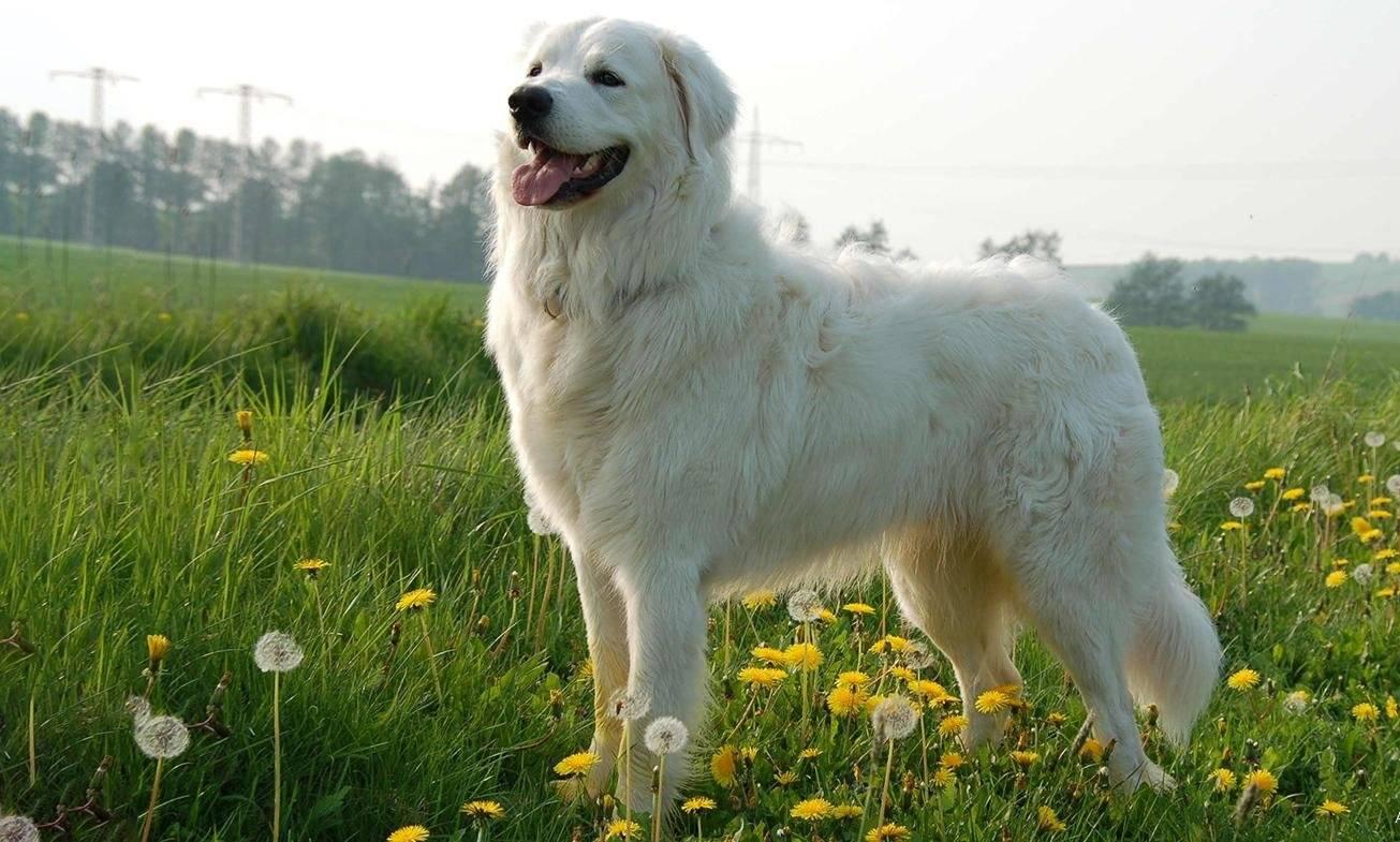 Словацкий чувач.описание порды, характер, фото | все о собаках