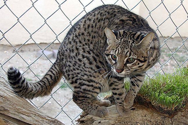 Кошки породы сафари - характер, особенности, уход и содержание