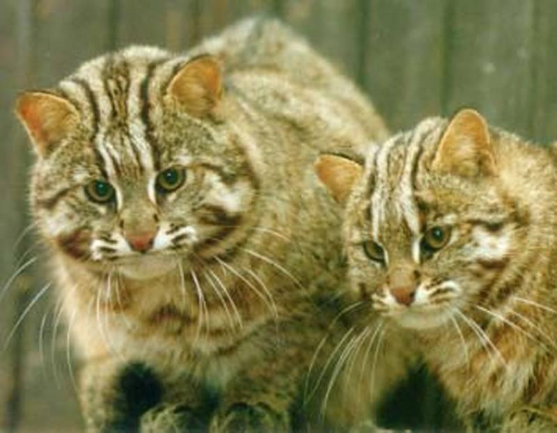 Амурский лесной кот – описание, ареал обитания и особенности питания