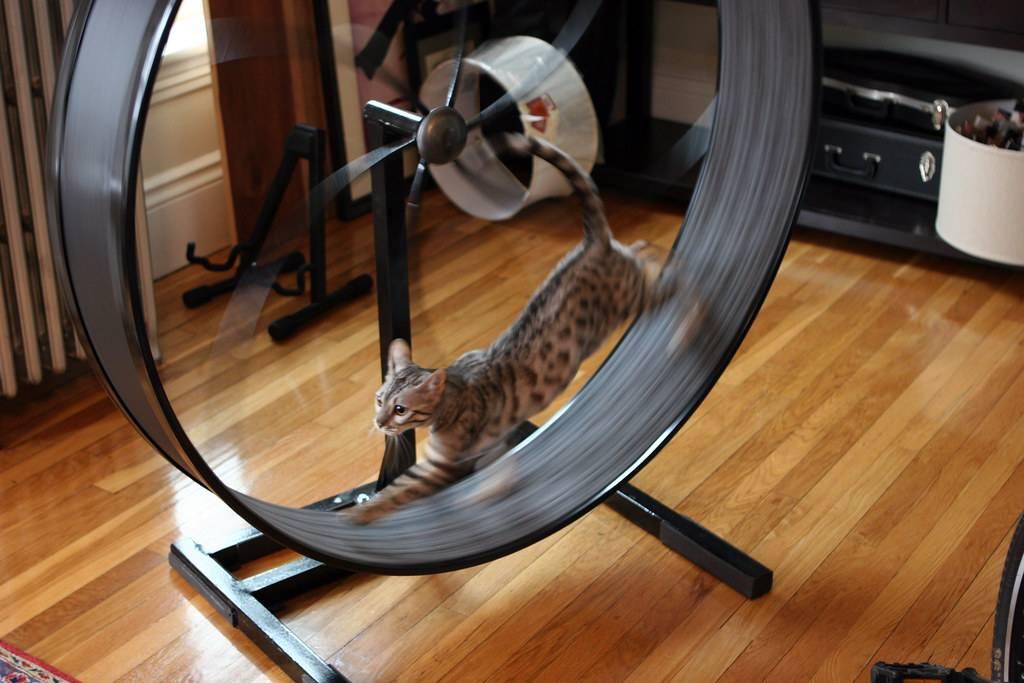 Беговое колесо для кошек – «убегаем» от калорий