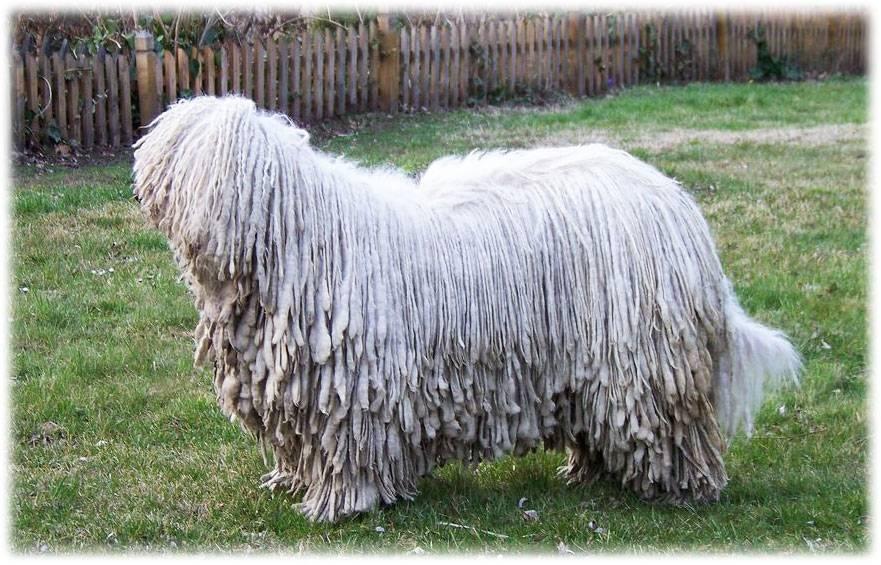 Командор (венгерская овчарка): описание породы и фото | все о собаках