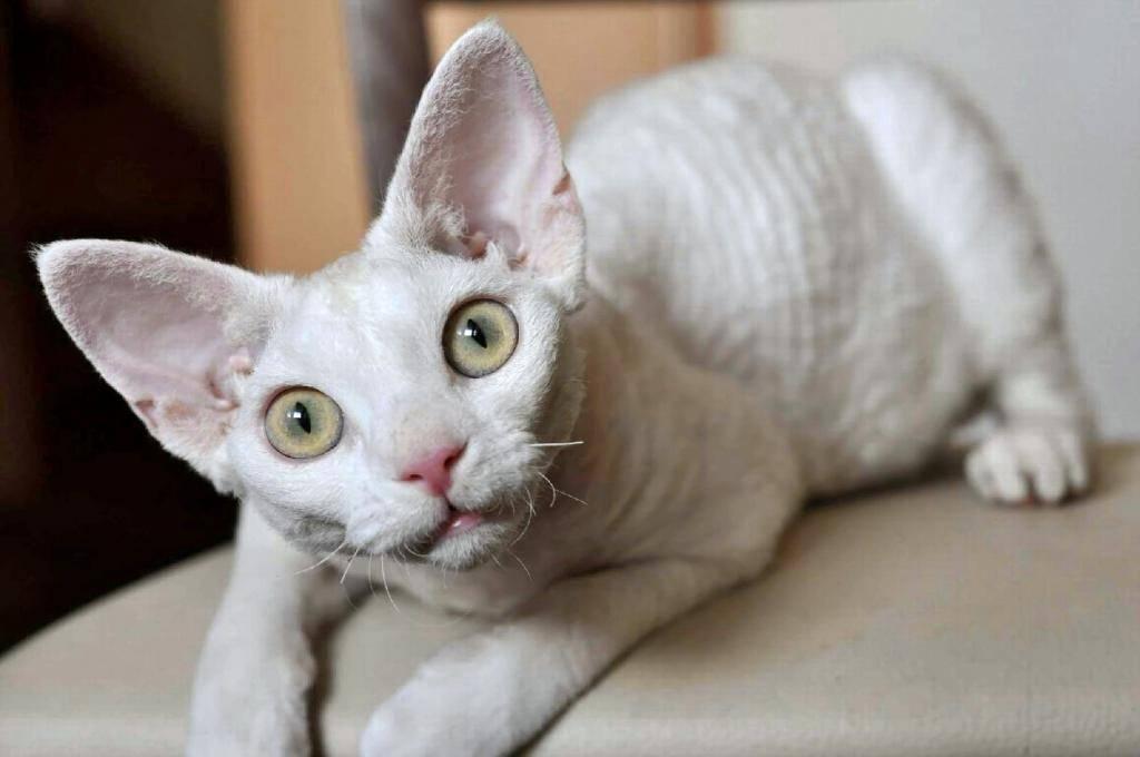 Порода кошек с большими глазами: названия с описанием и фото