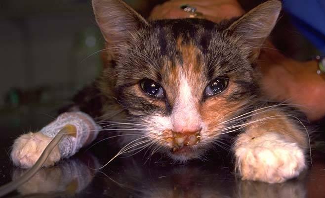 Герпес, или ринотрахеит, у кошек: симптомы и лечение, особенности болезни и ее опасность, вакцинация, фактор заразности для человека