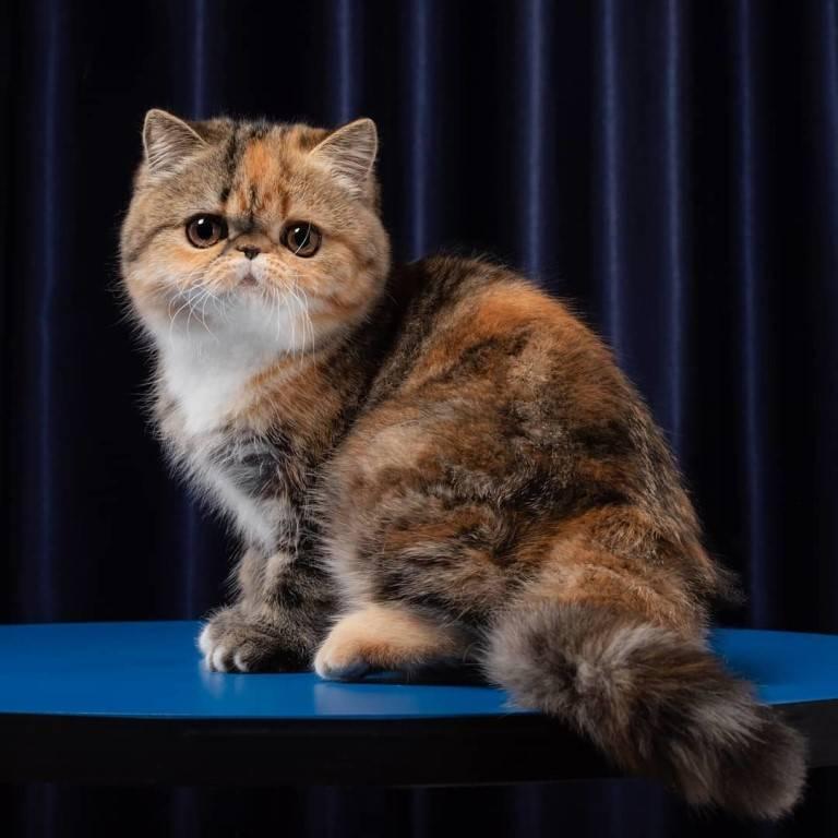 Экзотическая кошка: особенности породы, характер и уход за экзотом  - mimer.ru