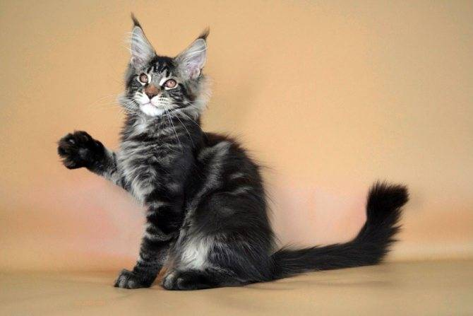 Как назвать кошку мейн-куна?