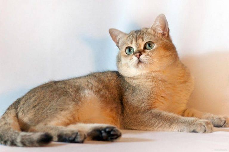 Британская шиншилла - порода кошки | характер, отзывы (с фото и видео)
