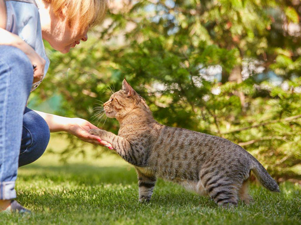 Пиксибоб – порода кошек, фото, осписание, характер, котята