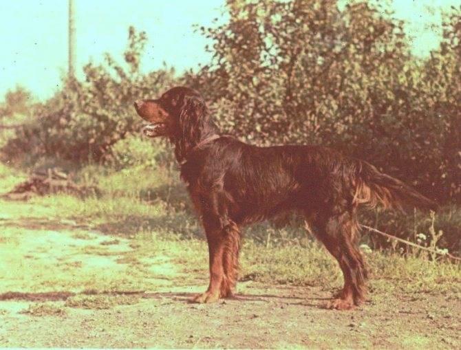 Шотландский сеттер (гордон): описание породы собак с фото и видео