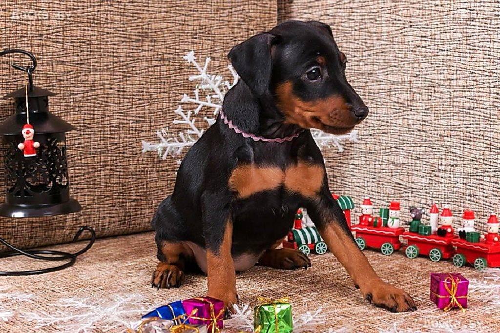 Цвергпинчер: фото и видео миниатюрного (карликового) пинчера, характеристика породы собак мини цвергпинчер