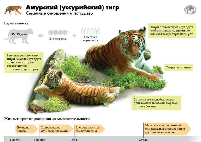 Калимантанская кошка: описание характера и внешности, образ жизни и размножение