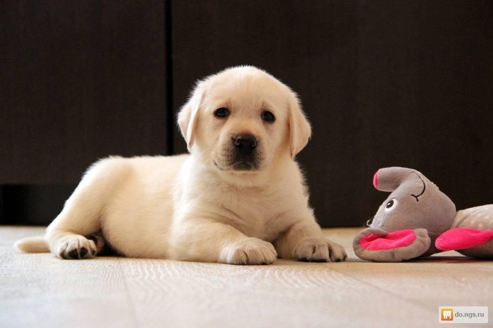 Клички для собак лабрадор, как назвать лабрадора мальчика, имена для собак девочек