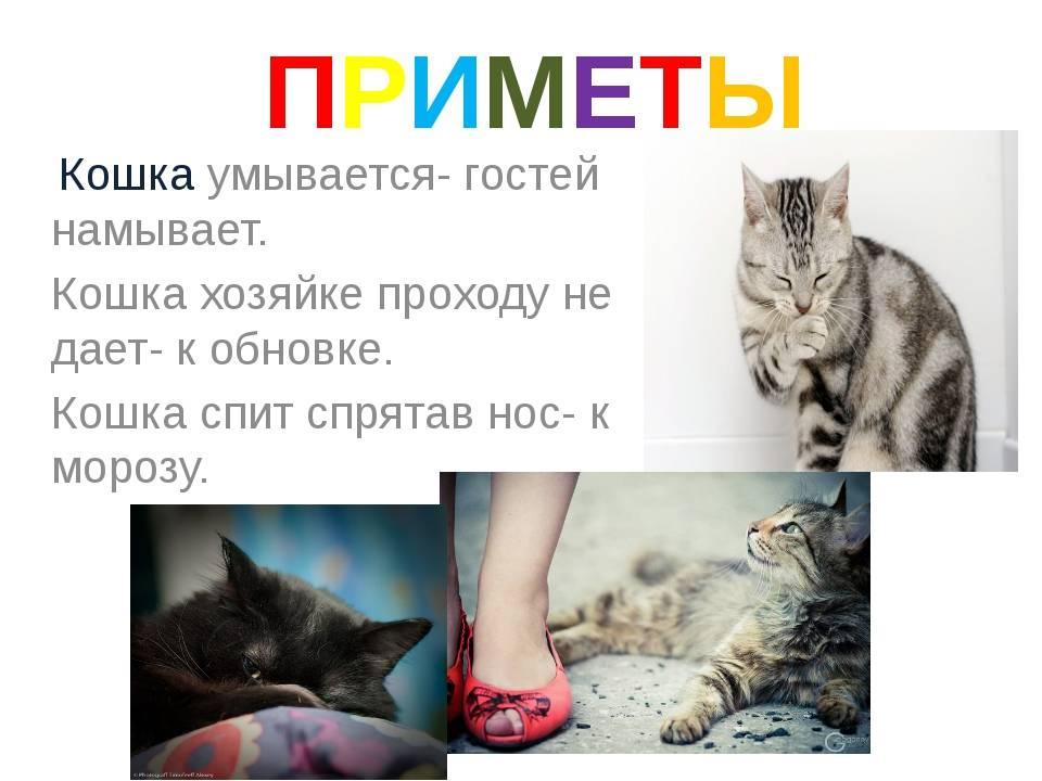 Народные приметы и суеверия о кошках известные на данный момент народные приметы и суеверия о кошках известные на данный момент