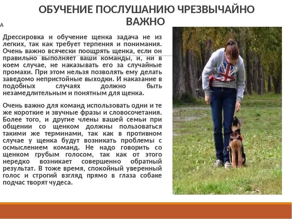 Чинук (120 фото) — описание породы, уход и содержание, характер собаки, стандарт породы, нюансы, отзывы, история