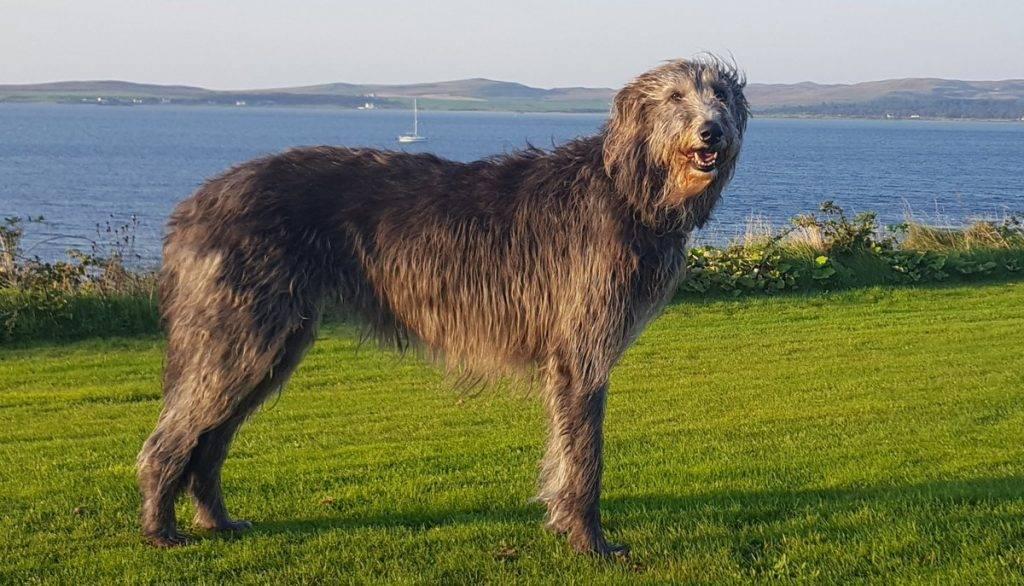 Ирландский волкодав: характеристика породы
