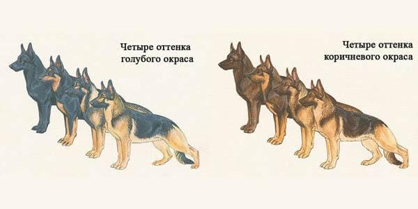 Немецкая овчарка: рост и вес щенка и взрослой собаки по месяцам