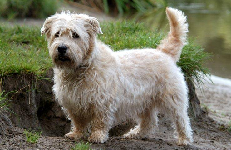 Глен оф имаал терьер: описание ирландской породы и уход за собаками