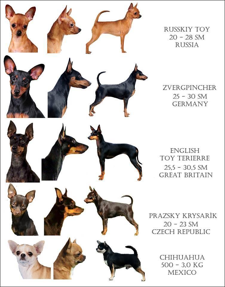 Той-терьер мини, карликовый и иные разновидности маленьких собак: описание, фото взрослых особей, а также сколько живут питомцы?