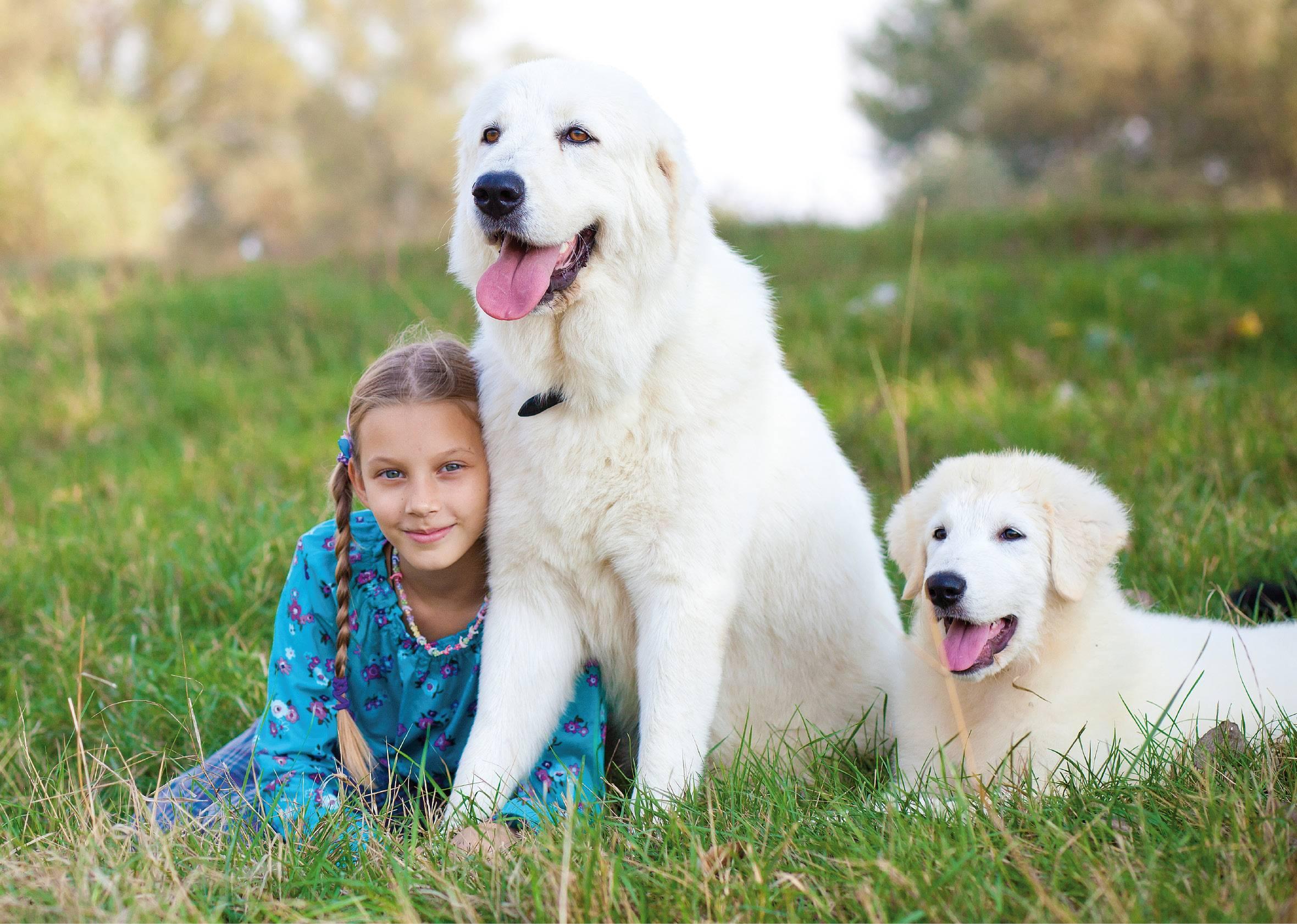 Мареммо-абруцкая овчарка: фото собаки маремма, характер и экстерьер породы собак