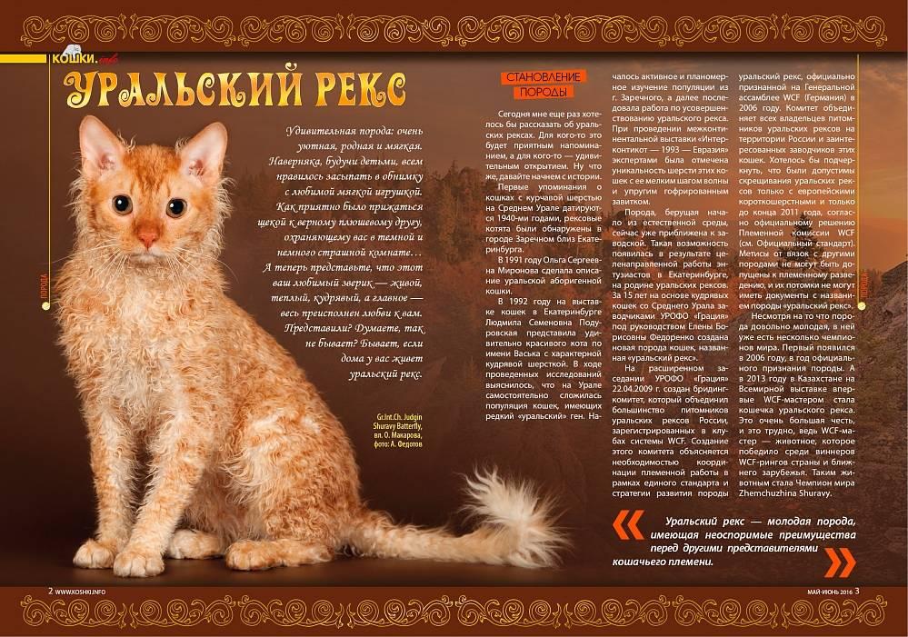 Cелкирк рекс: описание породы, черты характера, особенности ухода и содержания