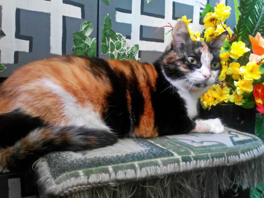 Приметы о трехцветной кошке: к счастью ли держать в доме