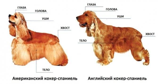 Кокер-спаниель: как выглядит английский питомец на фото, характеристика породы и описание, а также сколько живут собаки