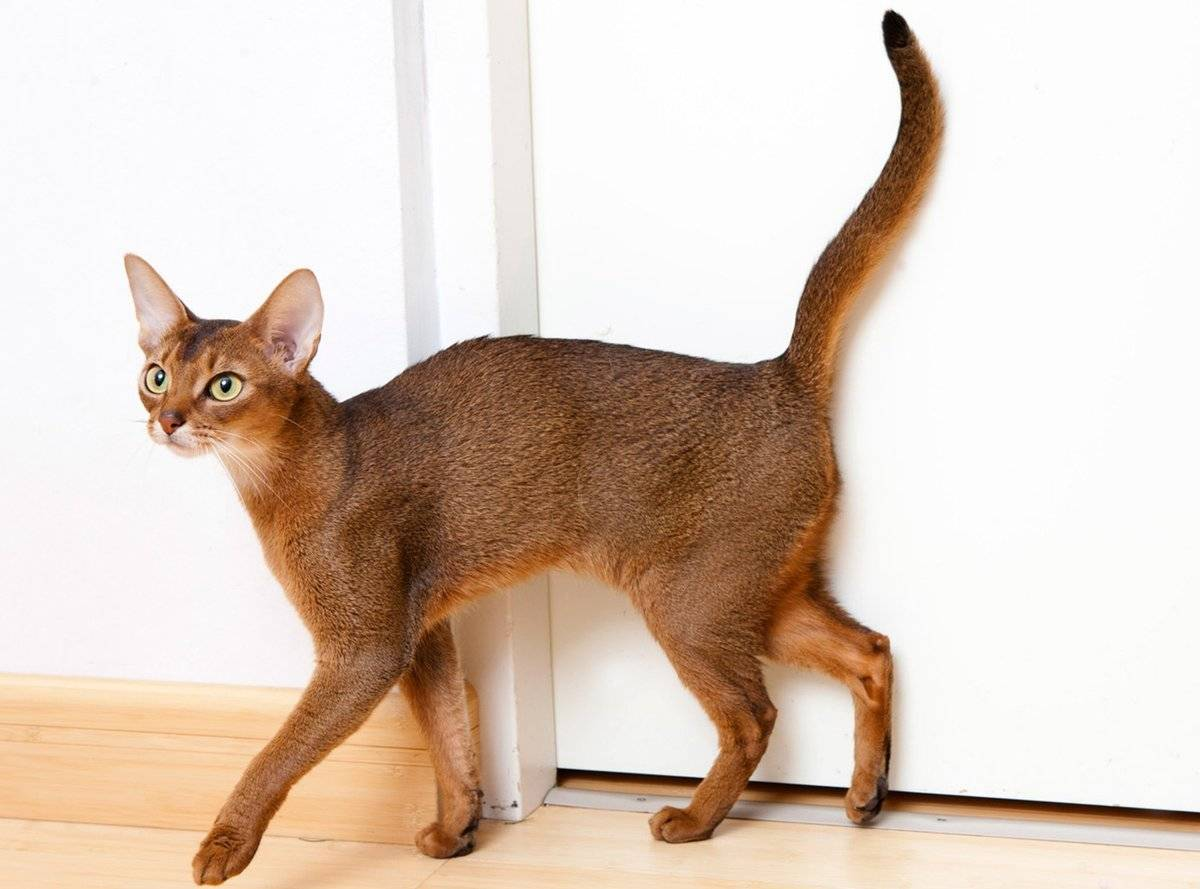Породы кошек — традиция