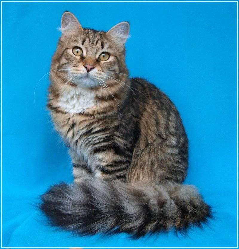 Сибирская кошка: подробное описание, фото, купить, видео, цена, содержание дома
